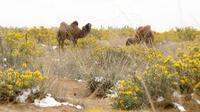 金灿灿的冬青花为腾格里沙漠换上了春天的新装