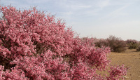 骆驼山下的桃花林
